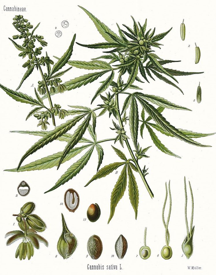 Cannabis Cannabaceae Sativa Indica