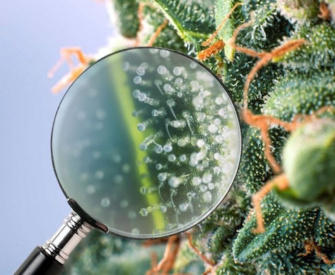Cannabis weed trichomes